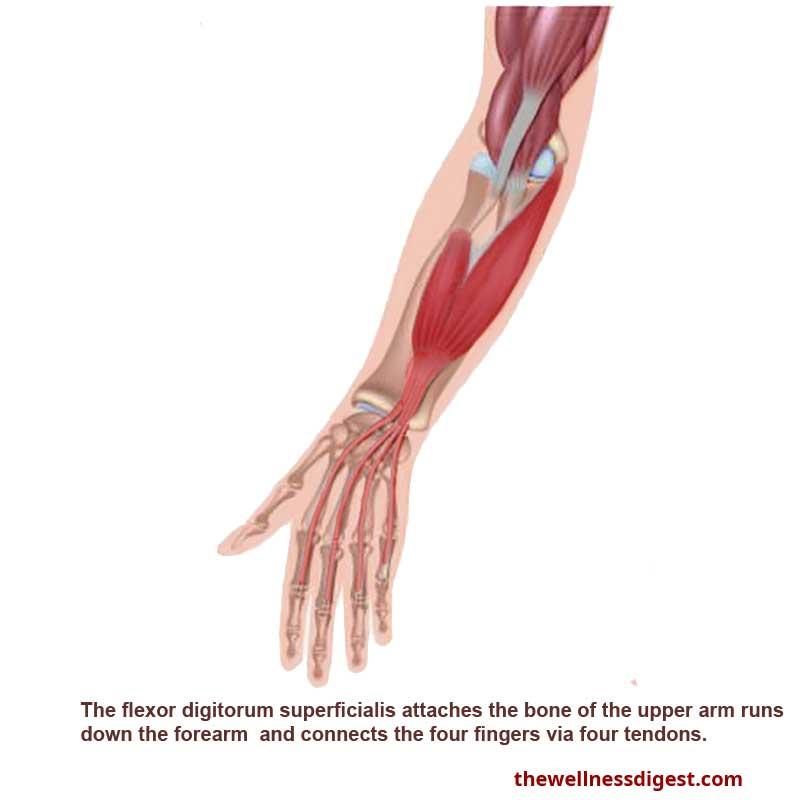 Flexor Digitorum Superficialis Muscle