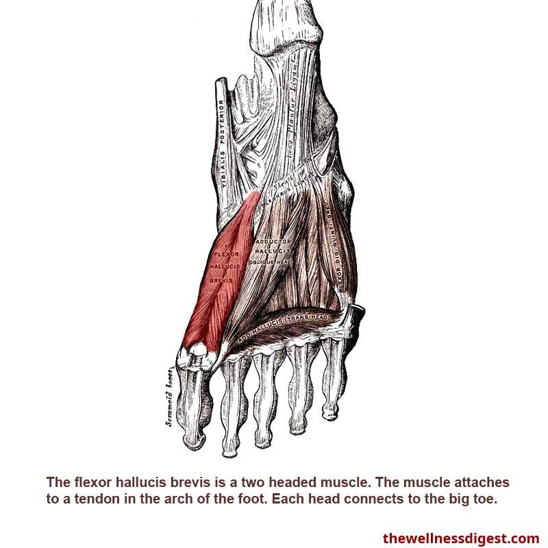Flexor Hallucis Brevis Muscle