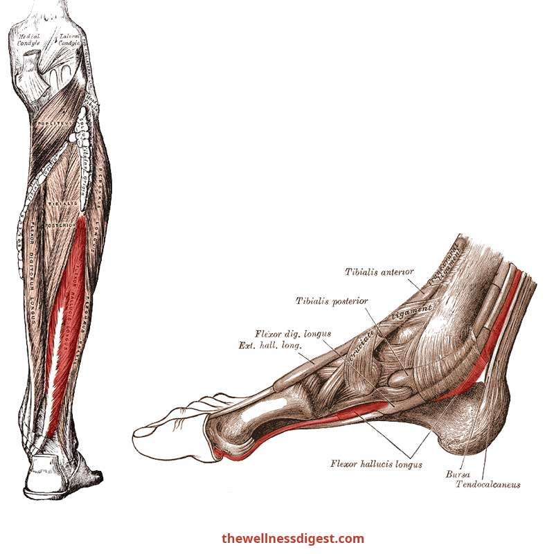 Flexor Hallucis Longus Anatomy