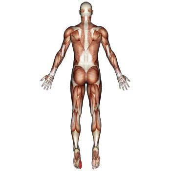 Flexor Hallucis Longus Muscle: Big Toe and Foot Pain