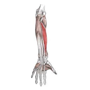 Flexor Pollicis Longus Anatomy: Origin, Insertion, Action