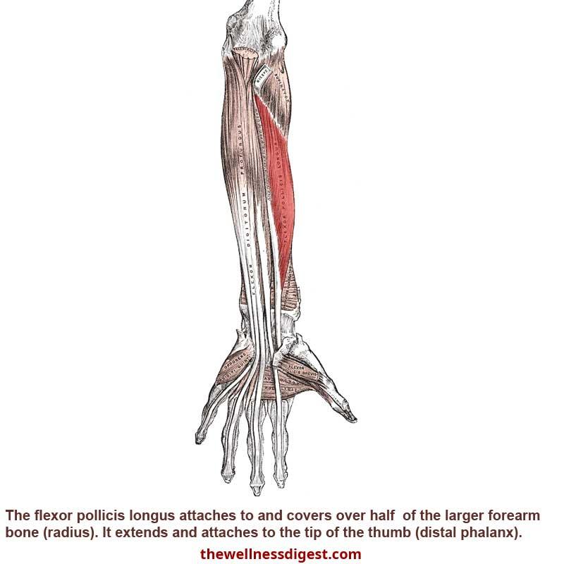 Flexor Pollicis Longus Muscle