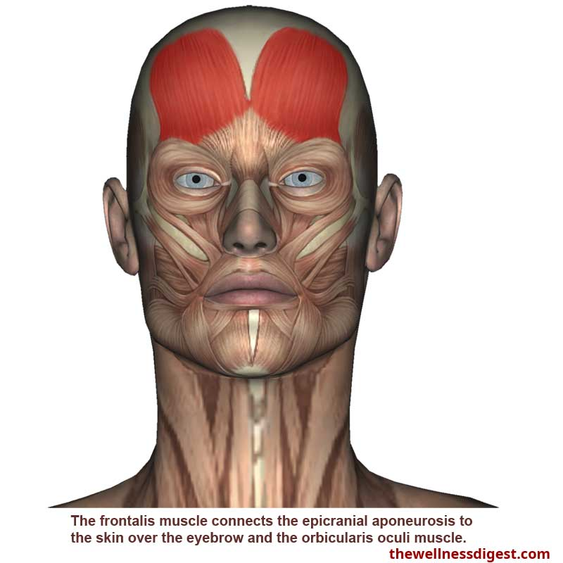 frontalis-muscle