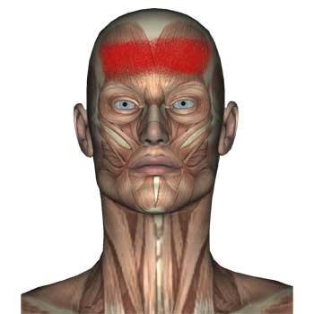 Frontalis Muscle: Forehead, Sinus Pain, Headaches