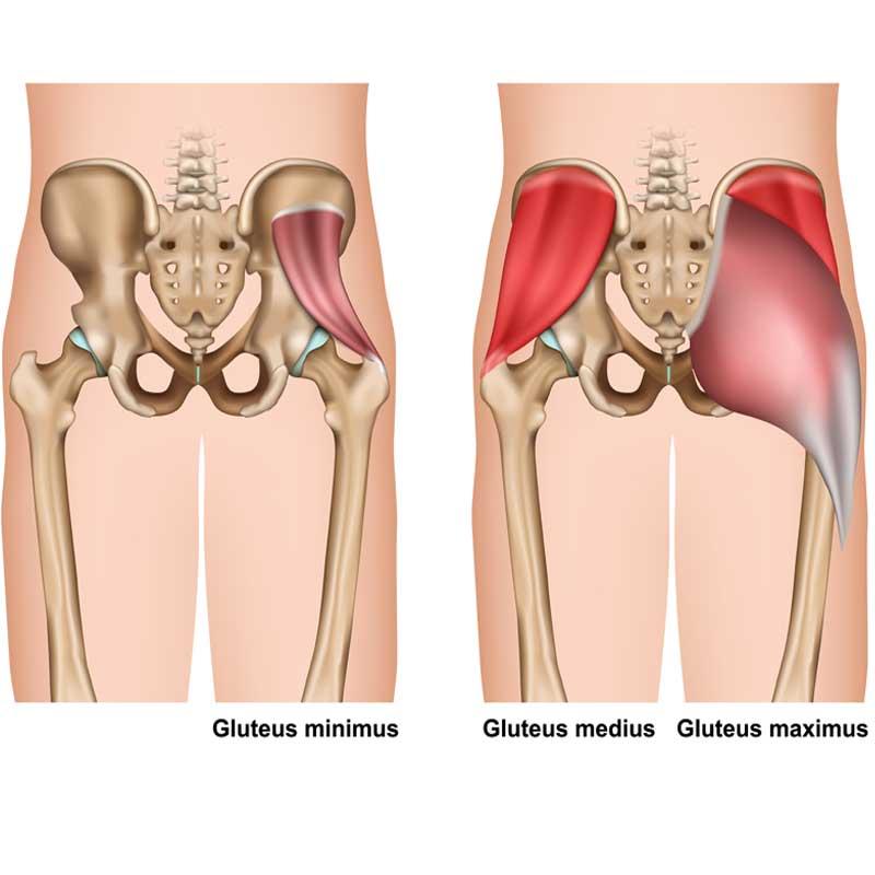 Gluteus Medius Anatomy