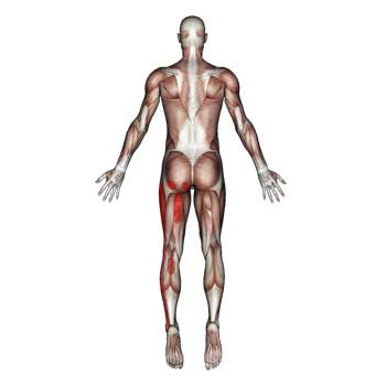 Gluteus Minimus Muscle: Buttocks, Hip, Thigh, Knee, Calf, Ankle Pain