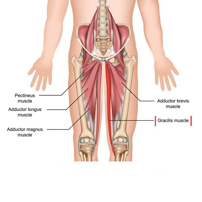 Gracilis Anatomy