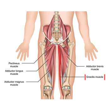 Gracilis Muscle: Origin, Insertion, Actions and Innervation