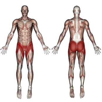 Groin and Hip Muscles