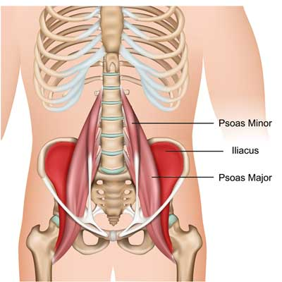 The Iliacus Muscle