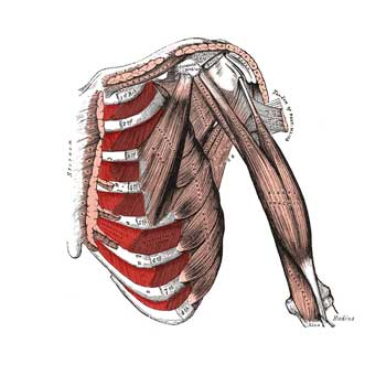 Intercostal Muscles Origin, Insertion, Action, Innervation