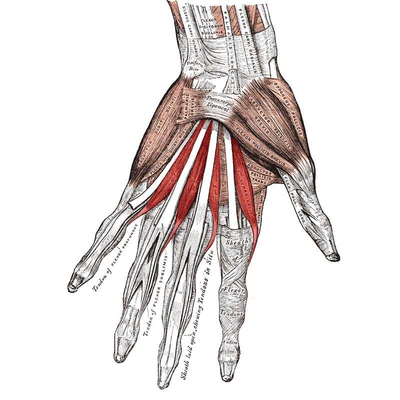 Lumbricals Hand Anatomy