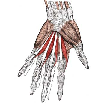 Lumbrical Muscles of Hand Anatomy: Origin, Insertion, Action