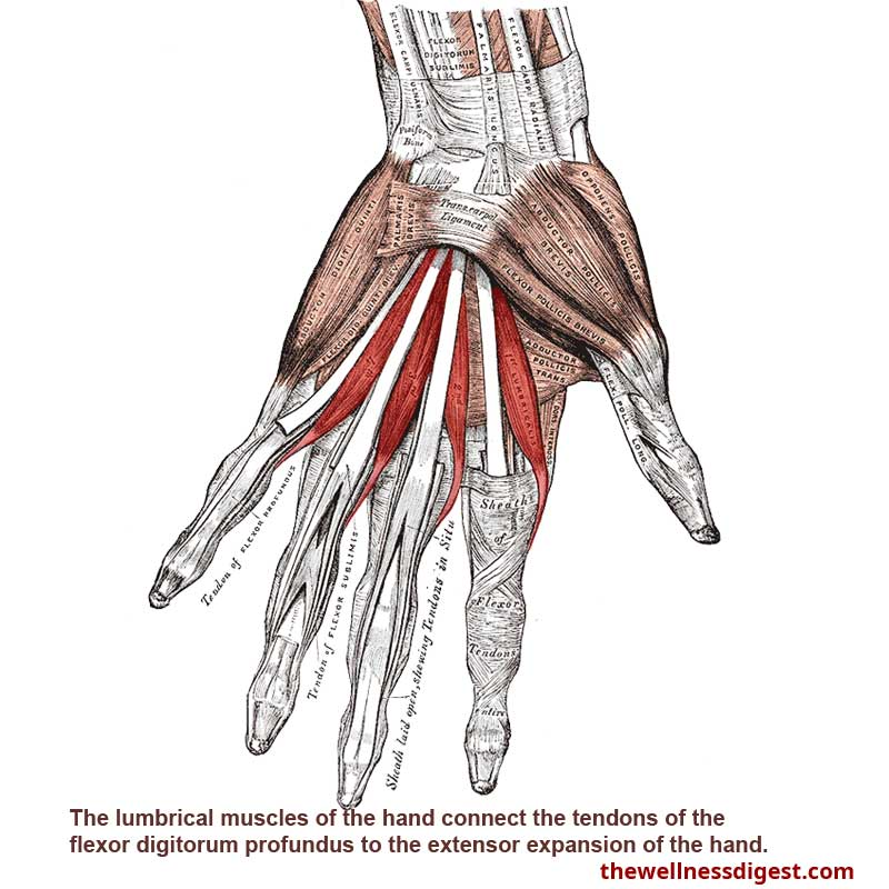 Lumbrical Hand Muscles