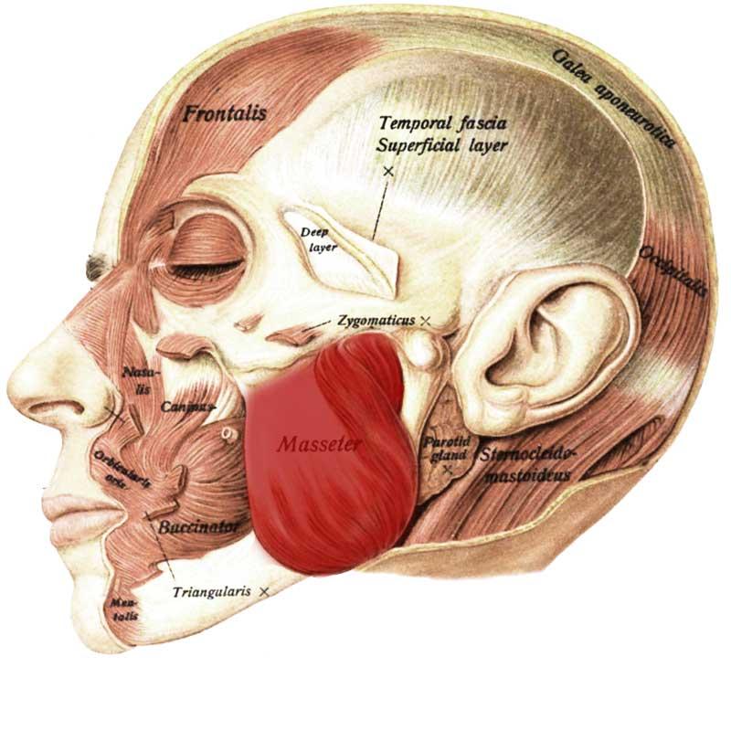 Masseter Anatomy