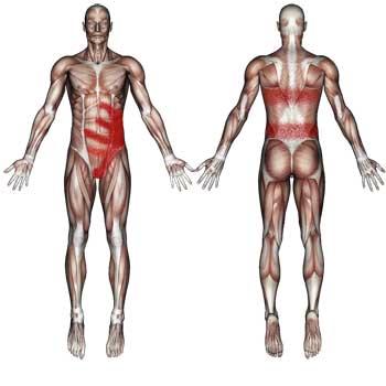 External Internal Oblique Muscles: Abdomen, Groin, Testicular Pain