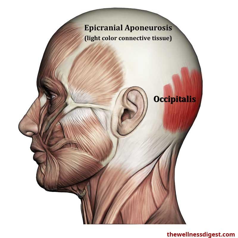 Occipitalis Anatomy