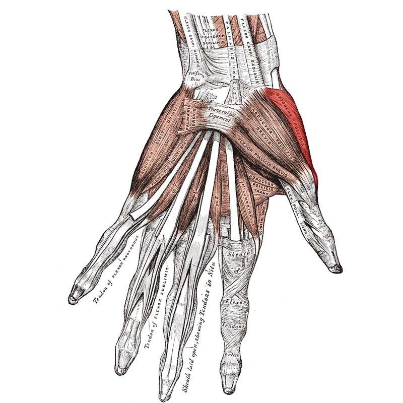 Opponens Pollicis Anatomy