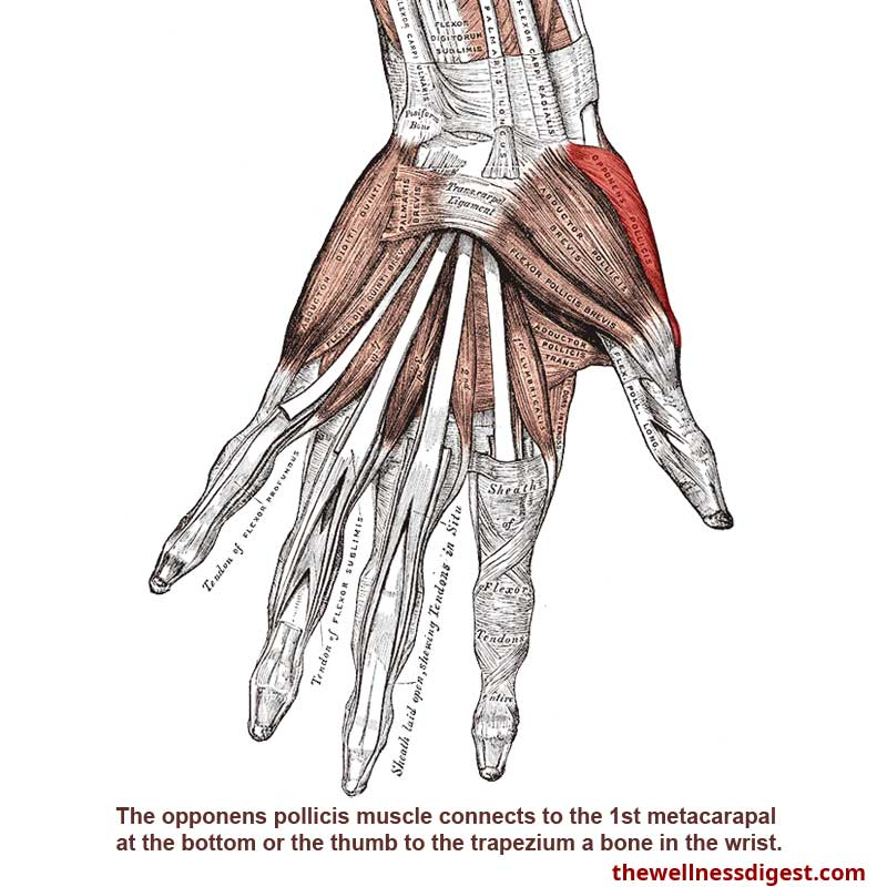 Opponens Pollicis Muscle