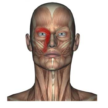 Orbicularis Oculi Muscle: Eye Pain and Twitching