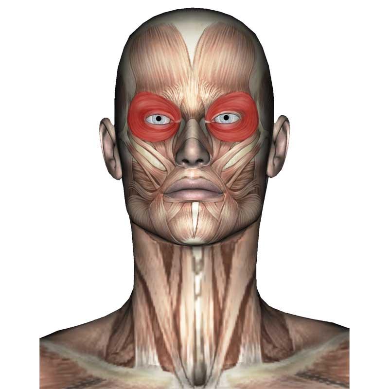 Orbicularis Oculi Anatomy