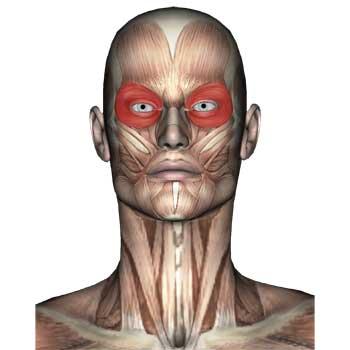 Orbicularis Oculi Anatomy: Origin, Insertion, Action, Innervation