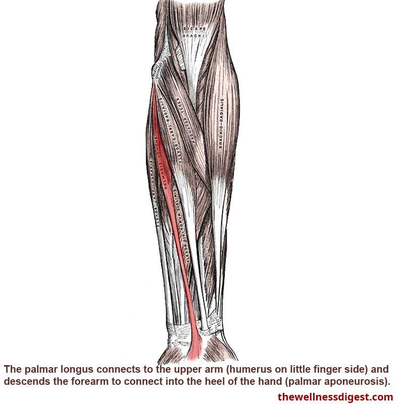 Palmaris Longus Muscle