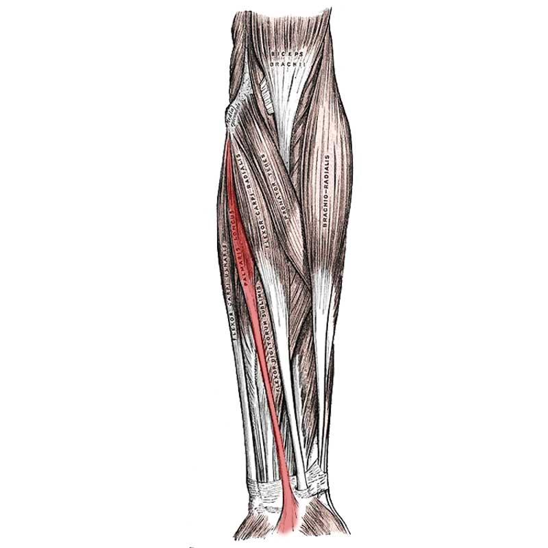 Palmaris Longus Anatomy