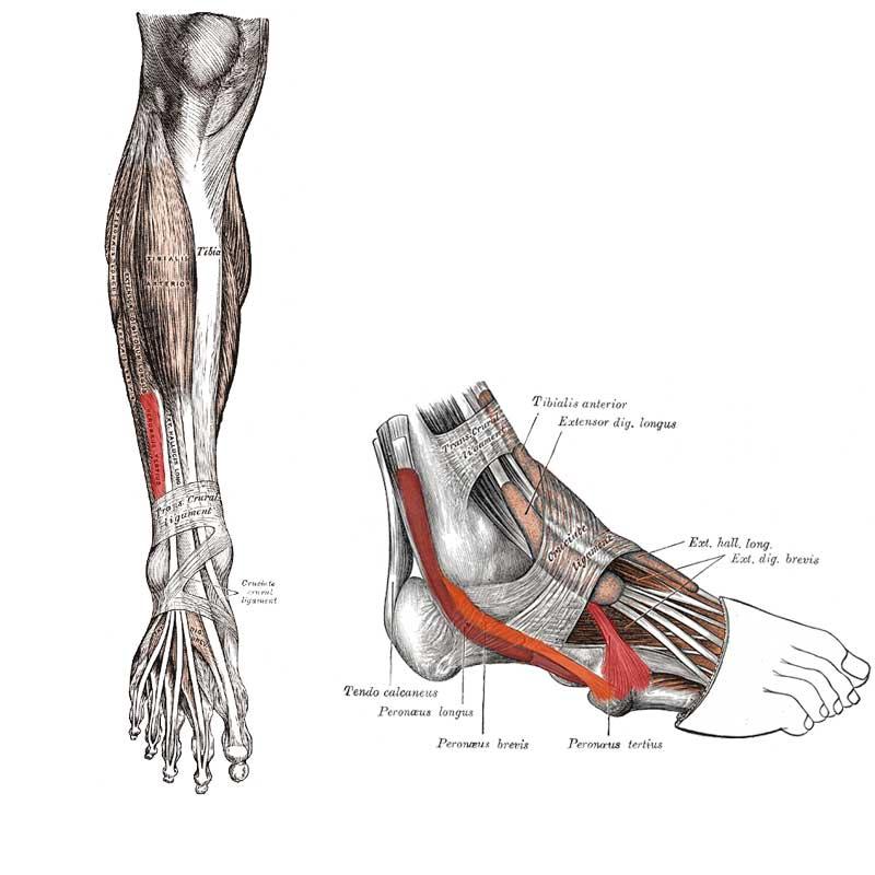 Peroneus Tertius Anatomy