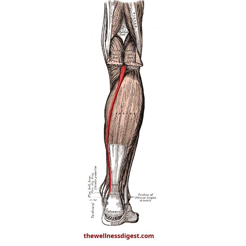 Plantaris Anatomy