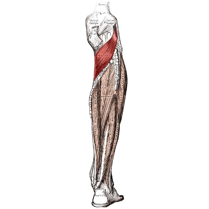 Popliteus Anatomy