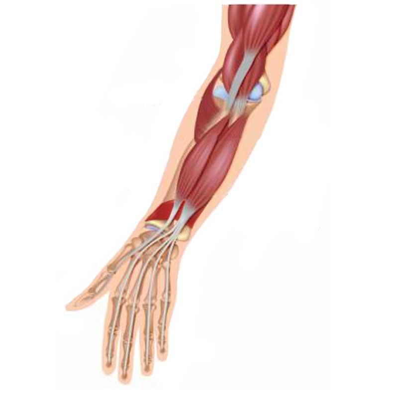 Pronator Quaratus Anatomy