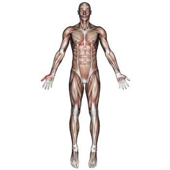 Pronator Quadratus Muscle: Forearm, Wrist, Thumb Pain