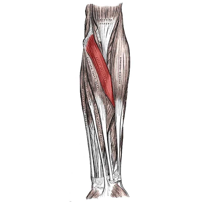 Pronator Teres Anatomy