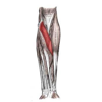 Pronator Teres Anatomy: Origin, Insertion, Action, Innervation