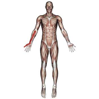 Pronator Teres Muscle: Forearm, Wrist, Thumb Pain