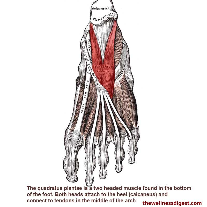 Quadratus Plantae Muscle