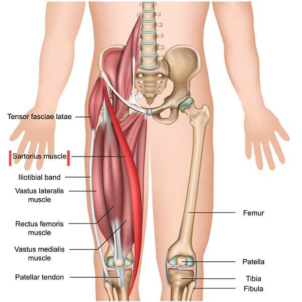 Sartorius Anatomy