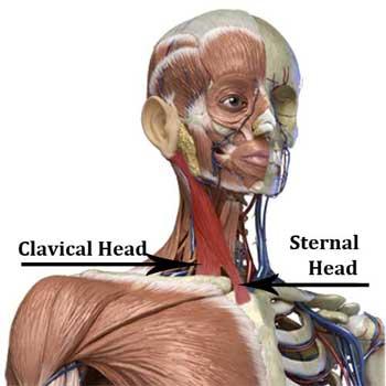 Sternocleidomastoid Anatomy: Origin, Insertion, Action, Innervation