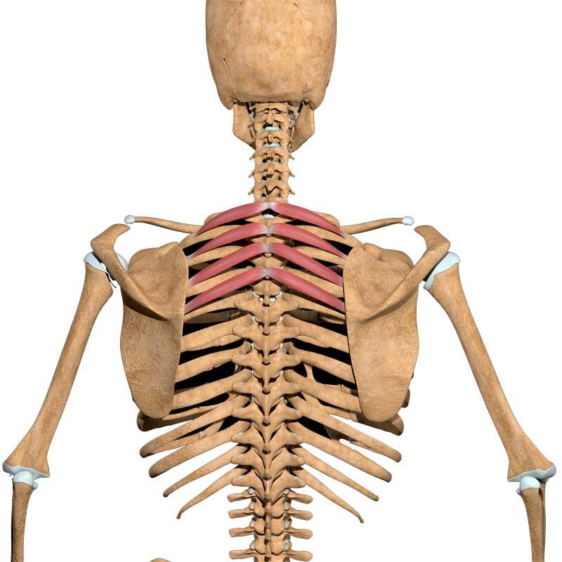 Serratus Posterior Superior Anatomy