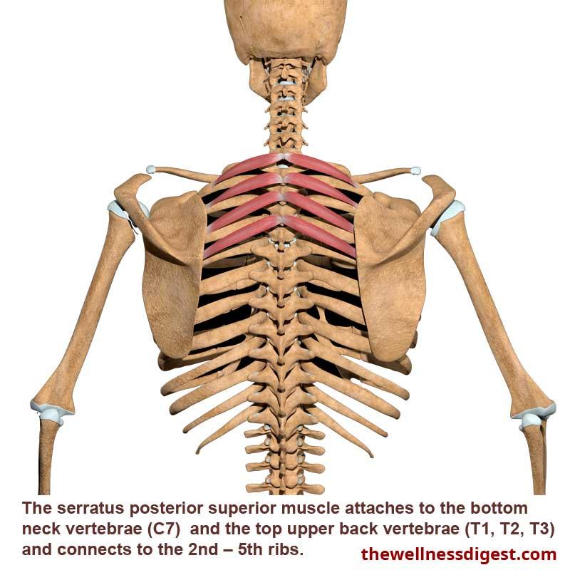 Serratus Posterior Superior Muscle