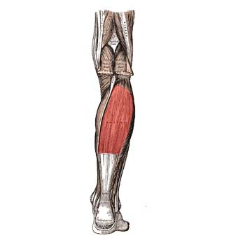 Soleus Anatomy: Origin, Insertion, Action, Innervation