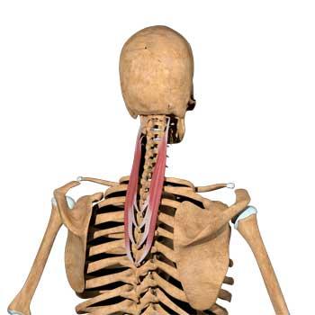 Splenius Cervicis Anatomy: Origin, Insertion, Action, Innervation