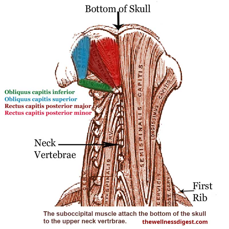 Suboccipital Muscles