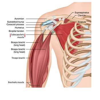 Subscapularis Muscle Anatomy: Origin, Insertion, Action