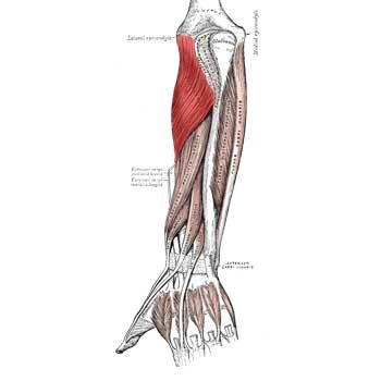 Supinator Anatomy: Origin, Insertion, Action, Innervation