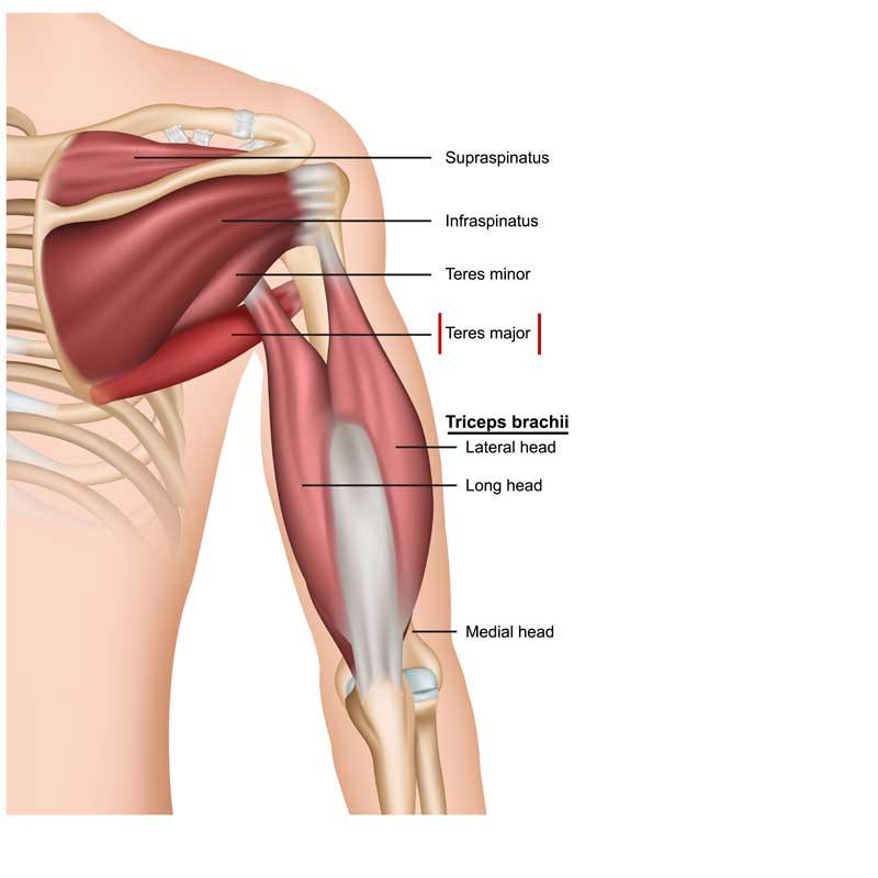 Teres Major Anatomy