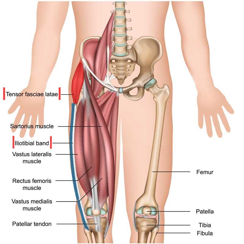 Tensor Fasciae Latae Anatomy