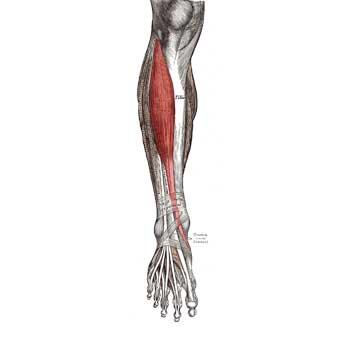 Tibialis Anterior Origin, Insertion, Actions, Innervation, Blood Supply