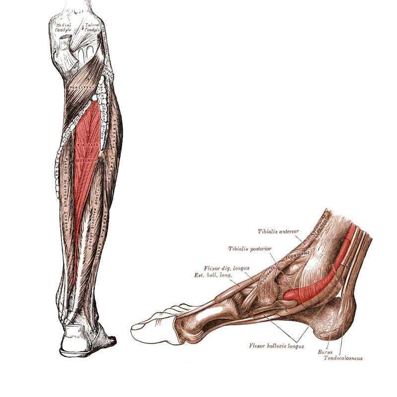 Tibialis Posterior Anatomy